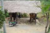 Местные слоны